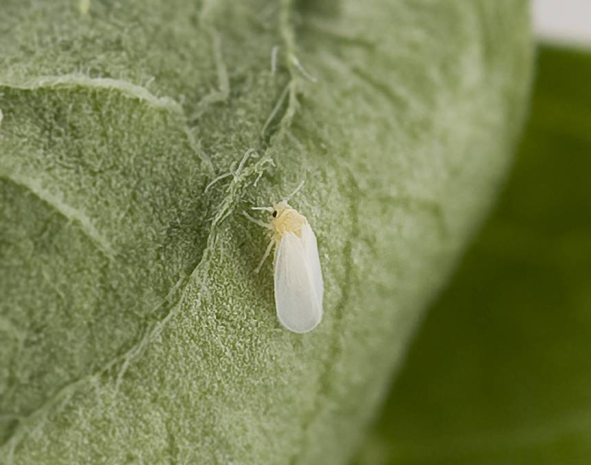Applaud Insecticide from Corteva Agriscience™ can be used int the control of Silverleaf whitefly, pictured here, and Solenopsis mealybug.